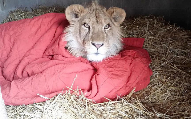Lion can't sleep without blanket